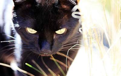 black-cat-in-the-brush